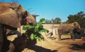 Elephant Species at the Topeka Zoo