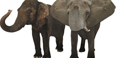 Asian vs. African Elephants